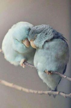 Dreamy Photos of Parrotlet Birds by Rupa Sutton. – Maxi Tendance Dreamy Photos of Parrotlet Birds by Rupa Sutton. Dreamy Photos of Parrotlet Birds by Rupa Sutton. Cute Birds, Pretty Birds, Beautiful Birds, Animals Beautiful, Love Birds Pet, Beautiful Pictures, Two Birds, Cute Baby Animals, Animals And Pets