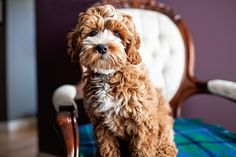 Tessa the Cockapoo Puppy by Happy Tails Pet Photography   Pretty Fluffy