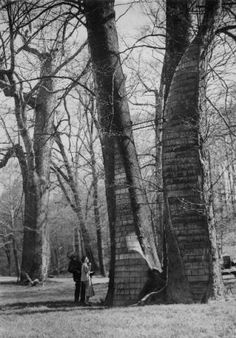 """The Three Sisters"" Siamese triplet sycamore trees, at Cherokee Park in Louisville, Kentucky. Two of the three large trees are close togethe..."