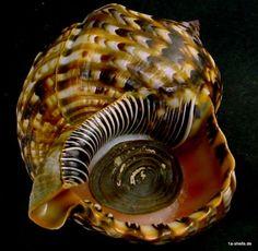 Atlantic Triton Charonia variegata, with operculum; Fibonacci Golden Ratio, Seahorses, Shell Art, Snails, Haiti, Marine Life, Sea Glass, Sea Shells, Rocks