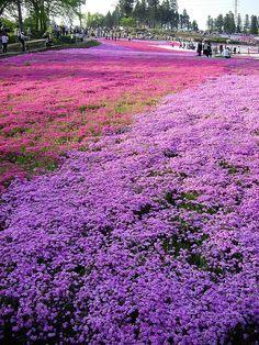 Gorgeous Phlox at Hitsujiyama Park  Chichibu, Saitama, Japan