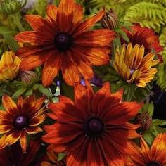 Rudbeckia Seeds | 8 Varieties|Packed for 2013|Annual Flower Seeds