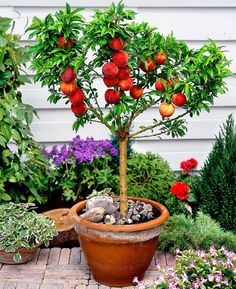 Dwarf fruit trees http://henryleuthardtnurseries.com/