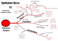 Ophthalmic Nerve (V1) of the Trigeminal Nerve and its tributaries - Frontal, Nasociliary, and Lacrimal Nerves