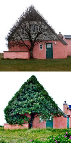 This tree in Denmark has not been shaped. It grows in the shaped of the house, probably because that's the only part protected from the extreme wind.