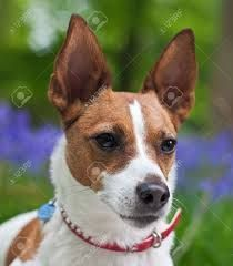 jack russell pointy ears - Google Search