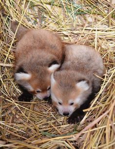 Detroit Zoo home to new red panda twins