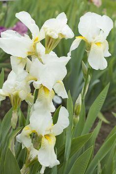 Weisse Schwertlilie