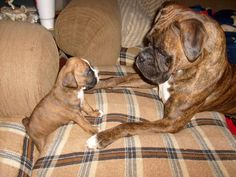 """""""Now what do I do?"""" I can't wait to have a boxer!!! Many years from now!"""