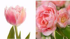 #結婚式 #ブーケ #ウェディングブーケ #春 #チューリップ Spring Wedding Bouquets, Rose, Winter, Flowers, Plants, Roses, Royal Icing Flowers, Flower, Florals