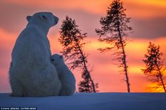 Safe and secure: A polar bear cub nuzzles up to its mother against a gorgeous sunset