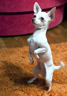 ~ White Chihuahua it wants me to have it!