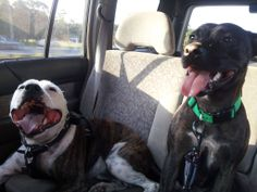 Foster sister Indy adopted and her new brother Tyson. English Staffy. #staffy #bully #rescue #family