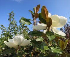 It's hard to imagine that my Little Gem Dwarf Southern Magnolia that stands at about 6-7ft tall will grow to be 20-25ft tall! For now I will enjoy sticking my nose directly into these sweet blooms.