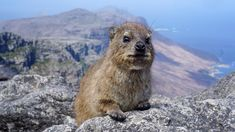 Little dassies populate the top of Table Mountain. (review via thecoconutrace.com)