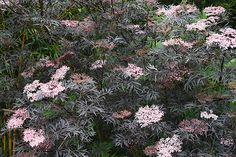 sambucus nigra black lace - full sun to shade, range of soils Edible Landscaping, Flower Garden, Black Lace Elderberry, Sambucus Black Lace, Berry Bushes, Plants, Gardening Gear, Elderberry Bush, Shrubs