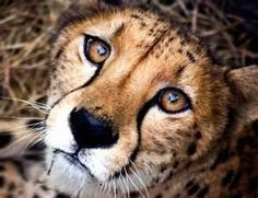 A Cheetah's Inquisitive Face.