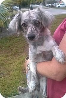 West Palm Beach, FL - Female Chihuahua/Dachshund Mix. Meet TWINKLE, a Dog for Adoption at Justin Bartlett Animal Rescue.