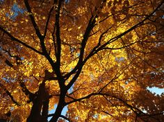 Autumn leaves - Westfield NJ. Photo by Christina Vircillo