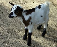 Symptoms of common diseases/infections in goats, and possible remedies.