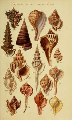 Seashells - Biodiversity Heritage Library | Flickr