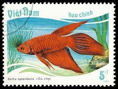 Siamese fighting fish, Vietnam, 1987