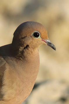 Mourning Dove (Florida, USA)