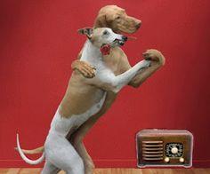 Mi Mascota Husse, blog y programa de radio de mascotas. Esta semana hablamos de gatitos, y gatotes, como el Maine Coon