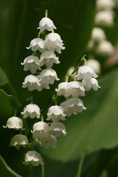National flowers - Finland - Lily of the valley - Pixdaus. Kielo in Finnish.