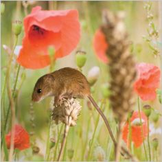 Harvest Mouse. A question of balance! on poppy