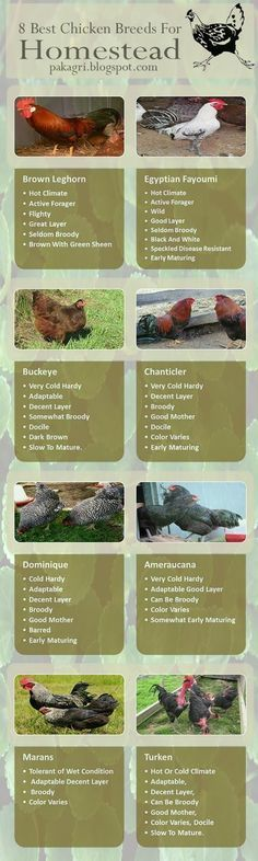 8 Best Chicken Breeds for Homestead #poultry #homestead