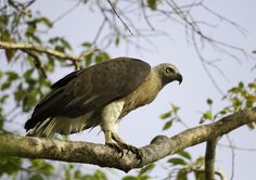 Grey-headed Fish-eagle (Haliaeetus ichthyaetus) - found from India and south-east Asia to Malaysia, western Indonesia and the Philippines Raptors, Falcons, Wild Birds, Hawks, Southeast Asia, Eagles, Bald Eagle, Philippines, Westerns