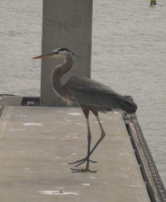 Bird Key bird. Grey Heron, Bird Book, Heaven And Hell, Pretty Birds, Bird Art, Animal Pictures, Key, Photographs, Animals