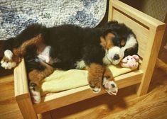 "2,682 Me gusta, 98 comentarios - Bernese Mountain Dogs  (@berneselovecentral) en Instagram: ""Great photo  #bernese #berneses #bernesemountaindog #bernesedaily #bernesepuppy #bernesestagram…"""