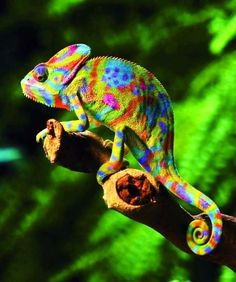 Polka Dotted Hippie Lizard