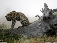 Leopardo, Sudafrica  Fotografia di Madison Hall