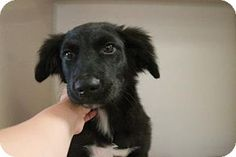 E. Brookfield, MA - Flat-Coated Retriever Mix. Meet Cupid, a puppy for adoption. http://www.adoptapet.com/pet/16345633-e-brookfield-massachusetts-flat-coated-retriever-mix