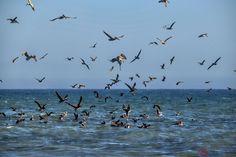 Pelican Invasion! by Jon Davatz on 500px