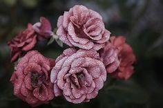 Rose, Blume, Rosa, Blumen, Natur, Blüte