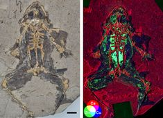 Scientists could be set to reveal the most accurate depictions of ancient vertebrates ever made after a world-first discovery at University College Cork (UCC) in Ireland. UCC palaeontologists have di… Metal Chemistry, University College Cork, University Of Saskatchewan, Physics Research, Extinct Animals, Organic Matter, Vertebrates, History Museum, Natural History
