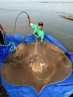 The giant stingray, such as this one in Cambodia's Mekong River, is the largest freshwater species on Earth.