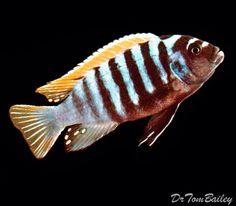 Red Top Zebra Cichlid, Featured item. #red #top #zebra #cichlid #cichlids #fish #fishofinstagram #freshwater #freshwaterfish #aquarium #aquariums #petfish #featureditem