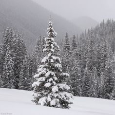 snowy pine trees: this one makes me think of Christmas Vacation :)