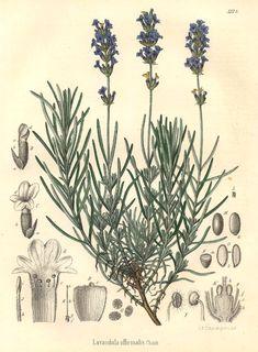 Lavandula officinalis Chaix ex Vill. Hoofdpijn