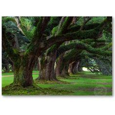 more Live oaks