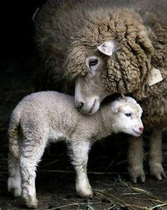 Spring lambing...