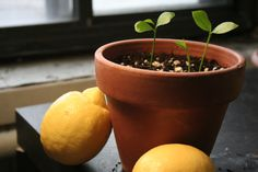 lemon seedling with lemon