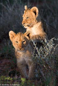 """beauty-rendezvous: """" Lion cubs (via 500px / Little Friends! by Andrew Schoeman) """""""