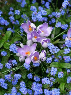Start Early-Spring-blooming bulbs aren't the only source of start-of-the-season color; mix in a few early flowering perennials. Try tiny crocus in a bed of forget-me-nots, for example