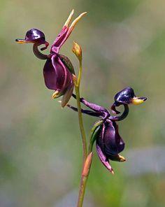 フライングダック、Caleana Major オーストラリアに咲く紫色のアヒルのような花